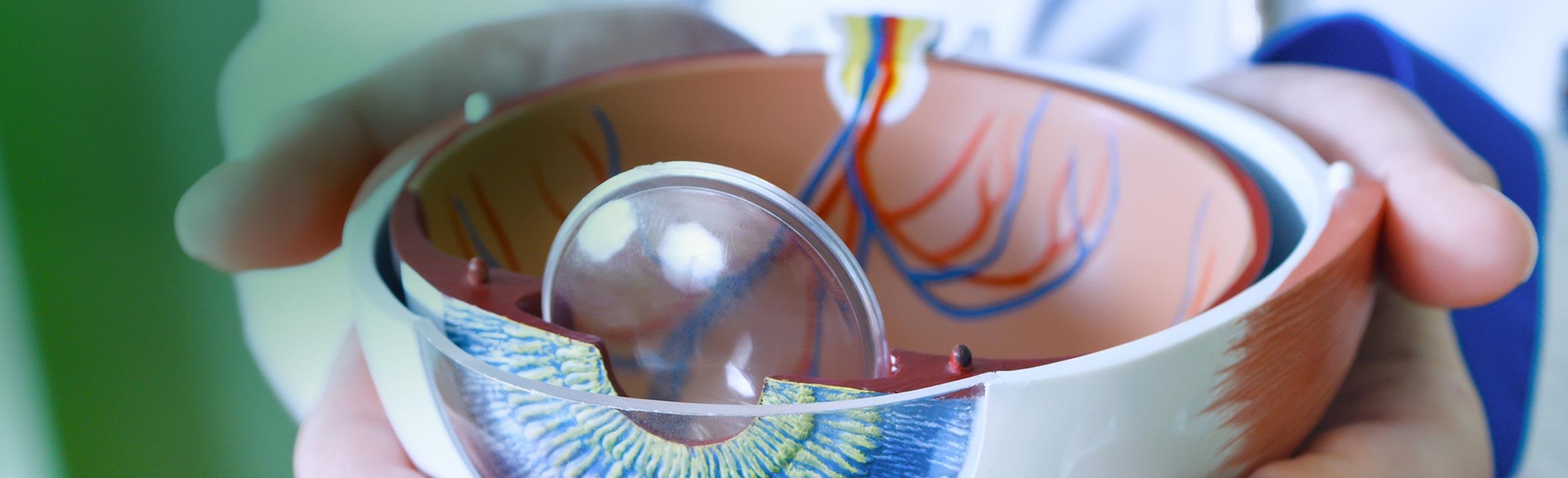 Imagem de mãos segurando um olho de plástico anatômico