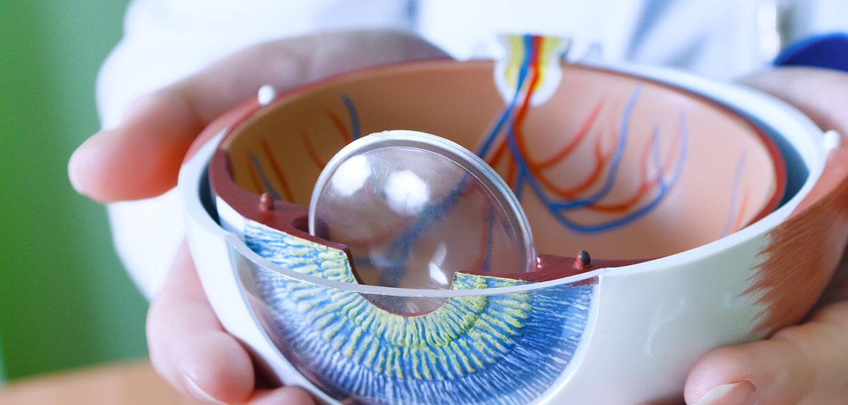 Modelo mostrando as diferentes partes do olho